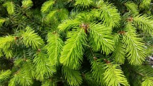 Fresh Fir Tips 2